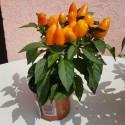 Perlenbaum, Rotes Sandelholz Samen (Adenanthera pavonina)