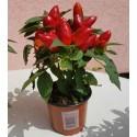 Red Lucky Seed - Red sandalwood Seeds (Adenanthera pavonina)