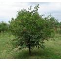 Kaffir Sljiva - Južnoafrička Sljiva Seme (Harpephillum caffrum)