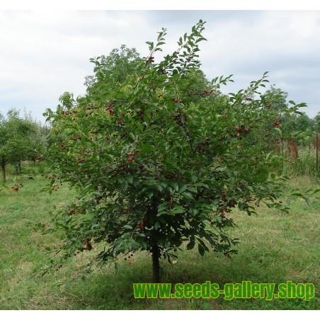 Surkörsbär Fröer (Prunus cerasus)