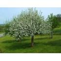 SOUTHERN MAGNOLIA - BULL BAY Seeds (Magnolia grandiflora)