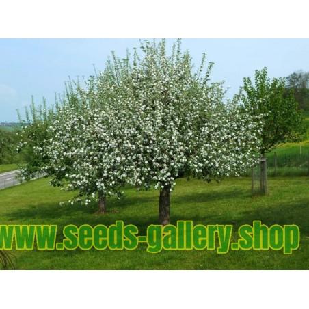 Steinweichsel, Felsen, Weichselkirsche Samen (Prunus mahaleb)