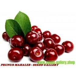 Semillas de Guinda, Guindas, Cerezo ácido, Guindo, Cerezo guindal (Prunus Mahaleb)