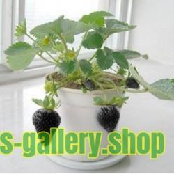 Semillas Negro Fresa rara exótica