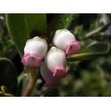 BEARBERRY, KINNIKINNICK, BEAR-GRAPE Seeds (Arctostaphylos uva-ursi)