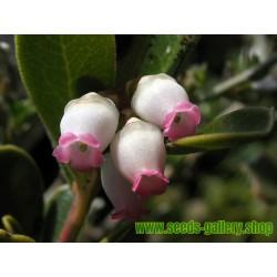 Sementes de UVA-DE-URSO (Arctostaphylos uva-ursi)