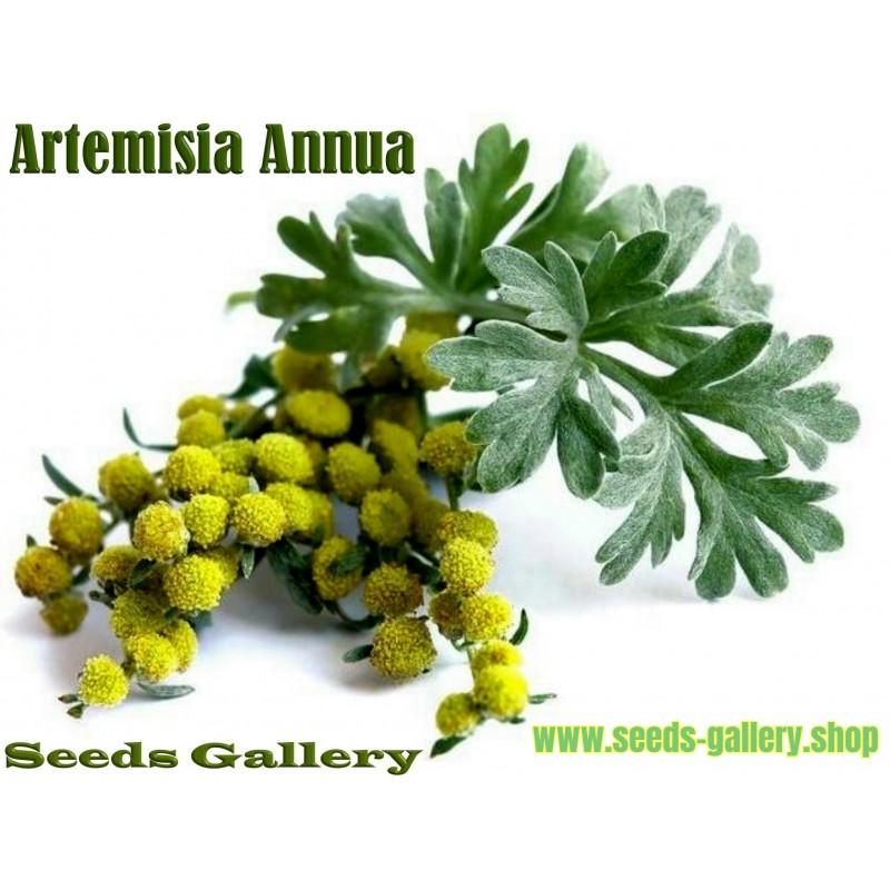 Σπόροι Artemisia annua (Αψιθιά κινέζικη)