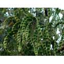 Semi di Grano Saraceno (Fagopyrum esculentum)