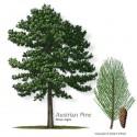 Bonsai Seeds Australian Pine (Casuarina)
