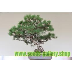 Bonsai Samen Australian Pine