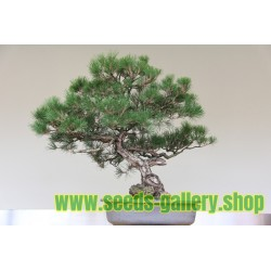 Graines De Bonsai Casuarina