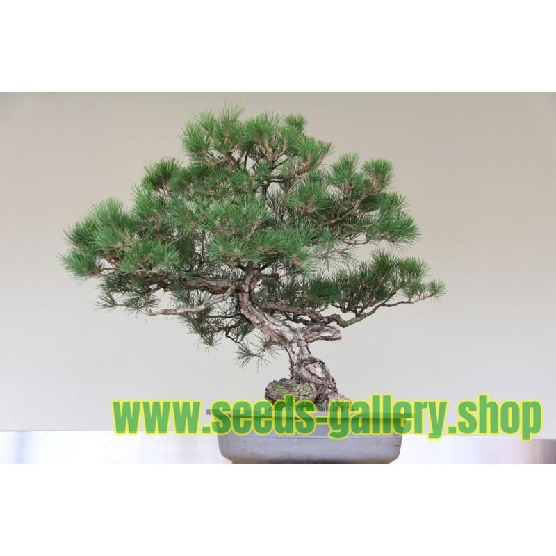 Bonsai Seme Australian Pine