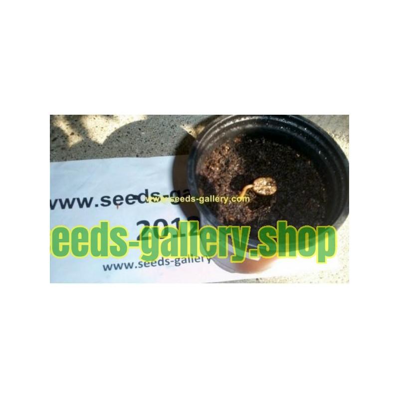 Παντζάρια Σπόροι - Αιγύπτου