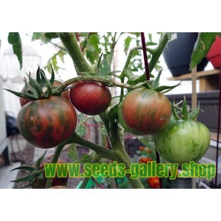 Schwarze Vernissage Tomatensamen