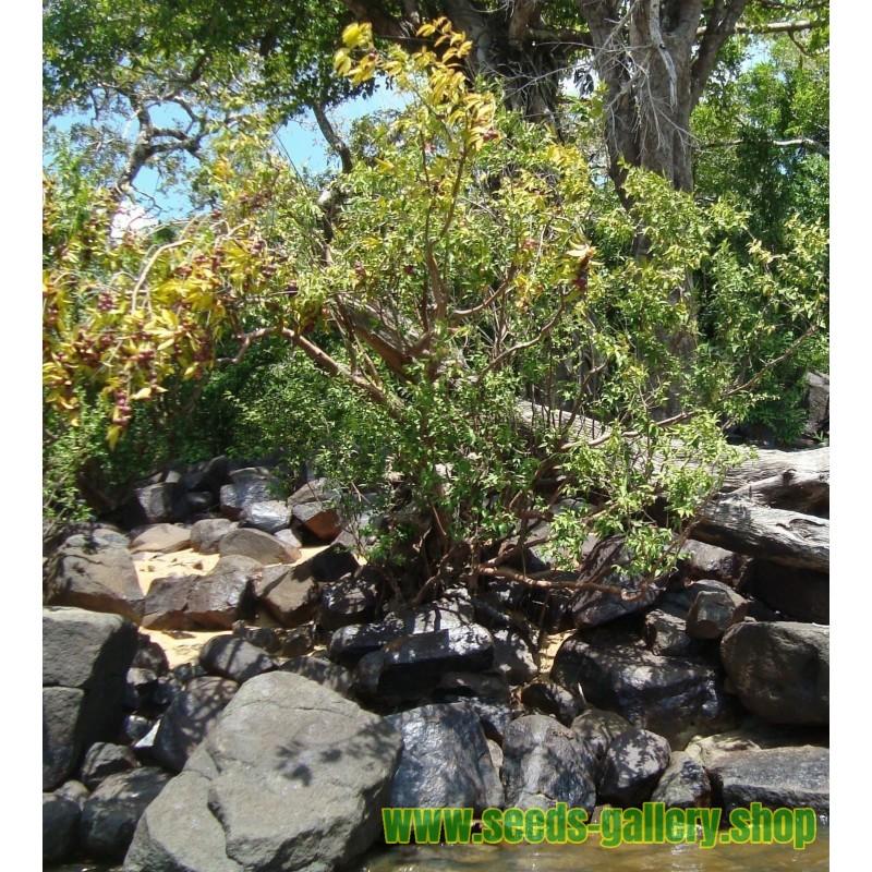 Graines de Framboisier Noir (Rubus occidentalis)