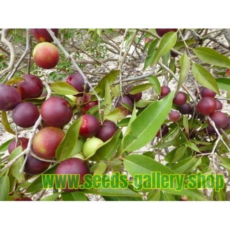 CAMU-CAMU Samen (Myrciaria dubia)