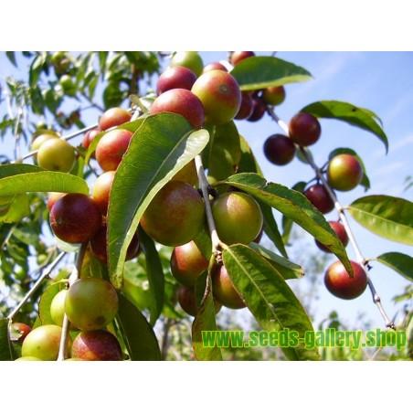 Graines de CAMU-CAMU (Myrciaria dubia)
