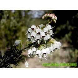 Velika Crnjusa Seme (Erica arborea)