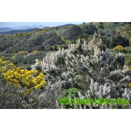 Graines Bruyère arborescente, Bruyère en arbre (Erica arborea)