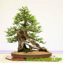 Trädljung Frö (Erica arborea)