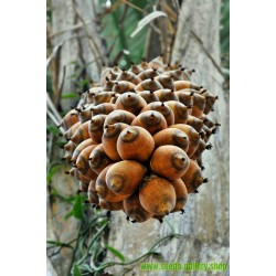 Σπόροι - Ααβόρα - Ελαΐς της Γουινέας (Elaeis guineensis)