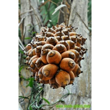Graines Palmier À Huile ou Éléis De Guinée (Elaeis guineensis)