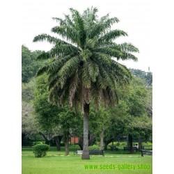 Ölpalme Samen (Elaeis guineensis)