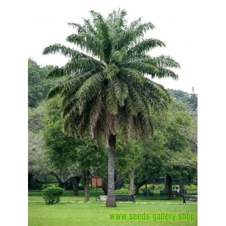 Sementes de PALMEIRA-DE-ÓLEO-AFRICANA (Elaeis guineensis)