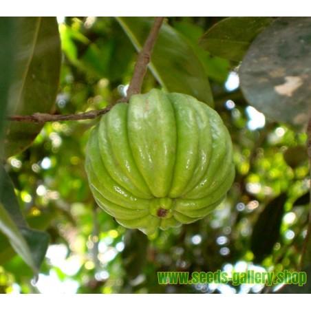 Garcinia Cambogia Seme