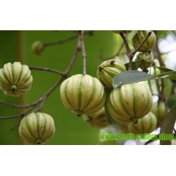 Semente de Garcinia cambogia - a planta que acaba com a fome
