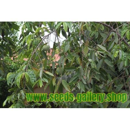 Evropska Tisa Seme (Taxus baccata)