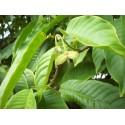 Europäische Eibe Samen (Taxus baccata)