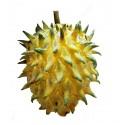 Graines de IF COMMUN ou IF (Taxus baccata)
