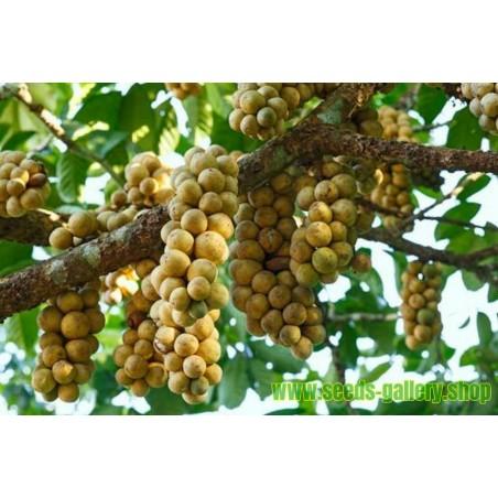 Langsat Seme – Egzoticno Tropsko Voce (Lansium domesticum)