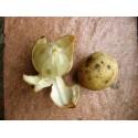 Semillas de Perejil GIGANTE DE NÁPOLES (Petroselinum crispum)