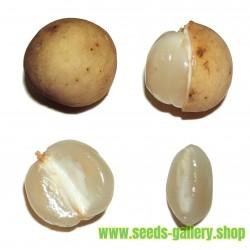 Mexican Tarragon Seeds (Tagetes lucida)