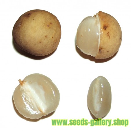 Semi di Long Kong (Lansium domesticum)