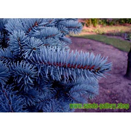 Blågran Fröer (Picea pungens glauca blue)
