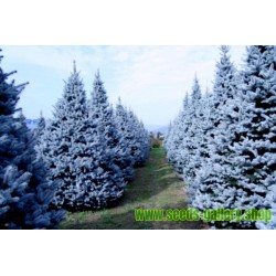Bodljiva Plava Smrca Seme (Picea pungens glauca blue)