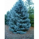 Blue Spruce Seeds (Picea pungens glauca blue)