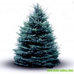 Graines de Épicéa Bleu, Épinette Bleue (Picea pungens glauca blue)