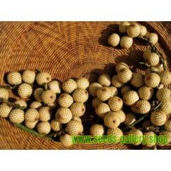 Graines de Grote Bruine Rotan (Calamus manan)