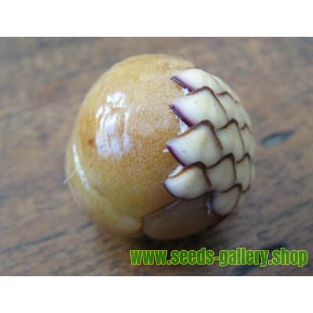 Ramslök Fröer (Allium ursinum)