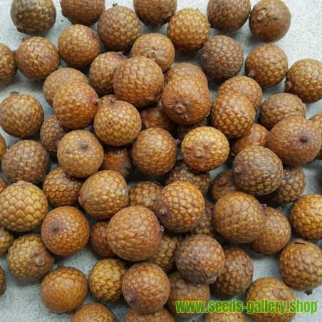 Σπόροι Rattan (Calamus manan)