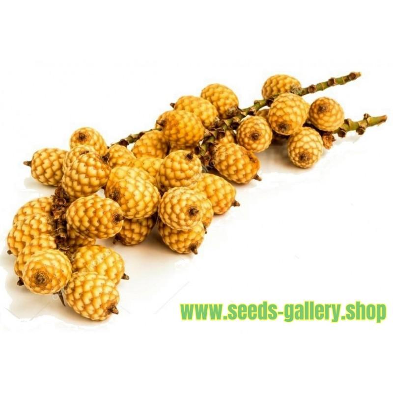 Rattan Seeds (Calamus manan)