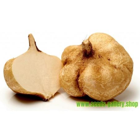 Jicama - Yambohne Samen (Pachyrhizus erosus)