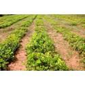 Graines de Poivre Japonais (Zanthoxylum piperitum)