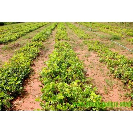 Sementes De Jicama - Batata Mexicana (Pachyrhizus erosus)
