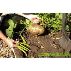 Jicama Yam Bean Seme (Pachyrhizus erosus)
