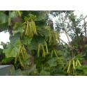 Seshuan - Secuanski - Japanski biber Seme (Zanthoxylum piperitum)